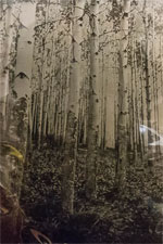 Aspens in a tintype protected with a lactic wrap
